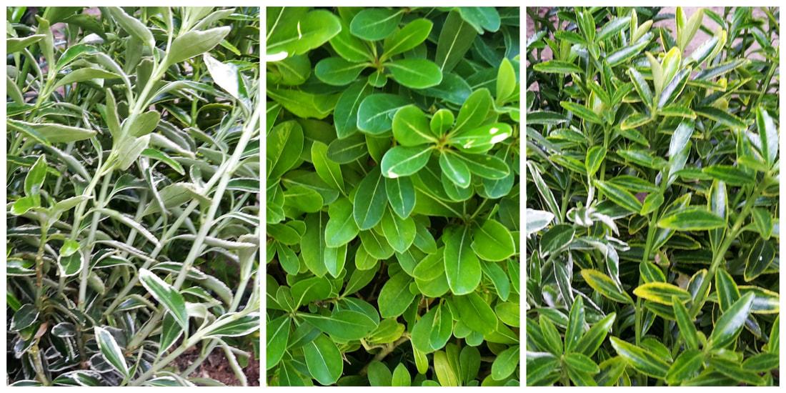 Plantas para hacer setos perfect planta para setos - Plantas para setos altos ...